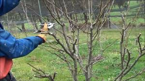 How To Prune Apple Trees And Pear Trees  Organic Gardening BlogPruning Fruit Trees Video