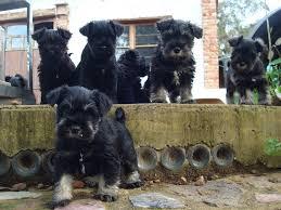 miniature schnauzer puppies giant schnauzer breeders qld