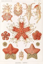 <b>Морские звёзды</b> — Википедия