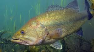 largemouth bass underwater. Perfect Largemouth Largemouth Bass Underwater FootageEngbretson Photography Inside YouTube