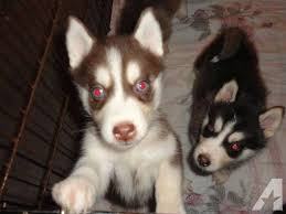 dark red husky puppy. Interesting Puppy Red Siberian Husky Puppies Classifieds  Buy U0026 Sell  Across The USA AmericanListed To Dark Red Husky Puppy Y