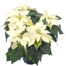 Weihnachtsstern Weiß Topf ø Ca 13 Cm Euphorbia Pulcherrima