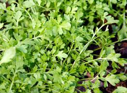 <b>Кресс</b>-<b>салат</b>. Посадка, размножение, уход, сорта, фото на ...