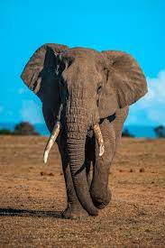 Elephant Wallpapers: Free HD Download ...