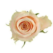 Картинки по запросу rozes