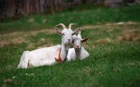 Afbeeldingsresultaat voor two goats