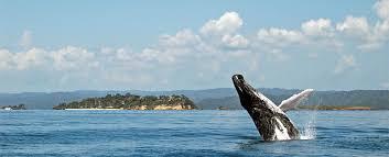 Resultado de imagen para imagenes de las ballenas jorobadas samana