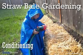 straw bale gardening part 2 conditioning