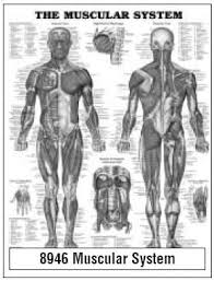 Laminated Anatomical Charts Anatomical Chart Company 9781587790355 Mckesson Medical