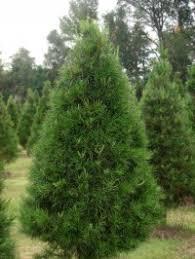Virginia Pine Christmas Tree