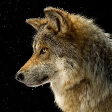 Wolf Species Size Chart Wolf National Geographic