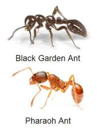 garden ants. The Different Types Of Ants - Saferbrowser Yahoo Image Search Results Garden R