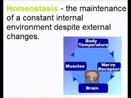 What Is Homeostasis In Biology Communication And Homeostasis Basics A Level A2 Biology Revision