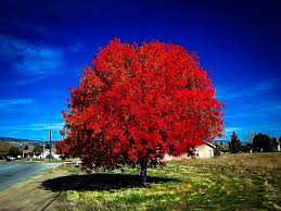 Image result for autumn blaze maple