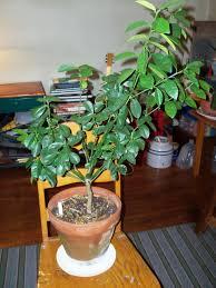 CENTENNIAL KUMQUAT TREE  Just Fruits And ExoticsKumquat Tree Not Bearing Fruit
