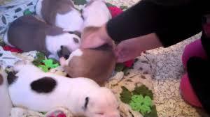 american bulldog newborn puppies. Perfect American Intended American Bulldog Newborn Puppies G