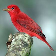 picture of red bird. Modren Red Summer Tanager Throughout Picture Of Red Bird