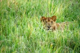 lioness stalking in grass. Fine Lioness Lion Lying In Lush Grass Africa In Lioness Stalking Grass E