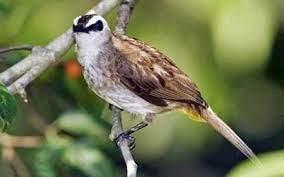 Ya, saat ini memang cukup banyak pecinta burung kicau lebih memilih jenis burung trucukan atau yang juga diberi nama cucak. Download Bunyi Burung Trucukan Mp3 Gacor Ngerol Ropel Durasi Panjang