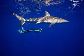 pelagic shark program the what where when how and why of diving sharks