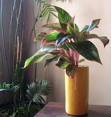house plant with purple flowers red is a spectacular evergreen plant with stunning purple or red house plant with purple flowers