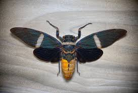Insects Home & Living : Pack 2 Tosena albata 140mm wingspan ...