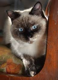 Siamese Kitten Growth Chart The Siamese Cat Growth Timeline What To Expect At All Ages