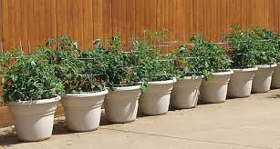 container gardening tomatoes.  Container Container Gardening Suze_container_tomatoes For Gardening Tomatoes