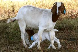Goat Birthing Chart Kidding Boer Goats South Africa