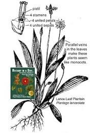 Plantaginaceae: Plantain Family. Identify plants and flowers.