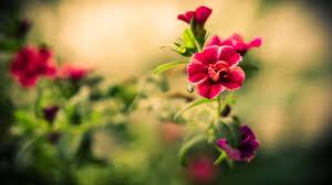 wallpaper desktop widescreen flowers. Brilliant Flowers Flower Wallpaper For Desktop  In Widescreen Flowers S