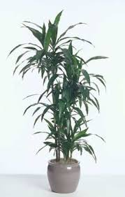 best low light office plants. dracaena janet craig popular interior workhorse used stand alone professional favorite survives indoor house plantsindoor best low light office plants n