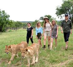 Image result for tourist walking with lions