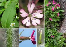 Silene dioica (L.) Clairv. - Sistema informativo sulla flora delle Alpi ...
