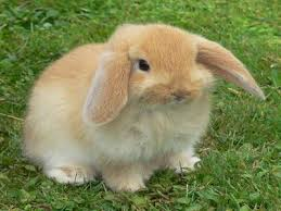 cute baby bunnies with floppy ears. Cute Baby Bunny With Floppy Ears Had This Color Named The Butterscotch To Bunnies