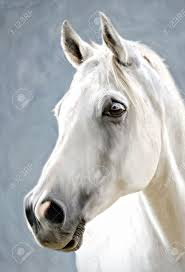 a photograph stylized as painting portrait of a white horse stock photo 17461625