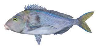 blue morwong queen snapper