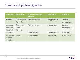 Protein Digestion As A Level Biology Protein Digestion And Absorption