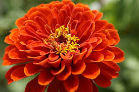 Image result for red and orange flowers