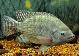 Mimpi dapat Ikan Nila Angka Jitu Pool303