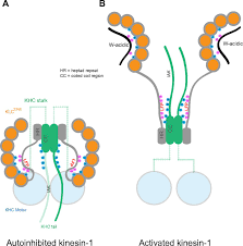 Kinesin Light Chain Antibody The Light Chains Of Kinesin 1 Are Autoinhibited Pnas