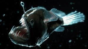 Deep Sea Anglerfish Deep Sea Fishes Melanocetus Johnsonii