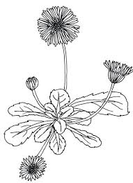 Dandelion Coloring Page Coloring Page Dandelion Flower Coloring