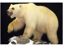 grolar bear size this is the most spectacular crossbreeding hybrid animals in the