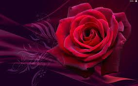 Kwiat, Róża, Grafika - Zdjęcia