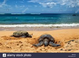 Close View Of Sea Turtles Resting On Laniakea Beach On A