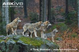 gray wolf pack in forest. Unique Forest Pack Of Eurasian Wolves On Rock In Montane Forest Habitat Inside Gray Wolf In Forest R