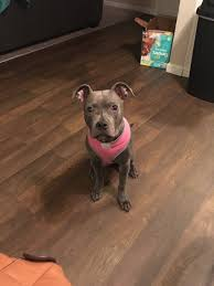 "alana graves on Twitter: ""My baby has gotten so big & so bad 🙃😩 #pitbull  #dogmom #getapitbulltheysaid… """
