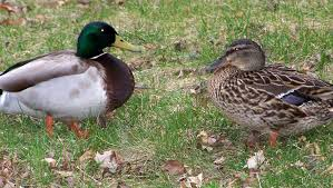 Seven things you never knew about the sex lives of mallard ducks