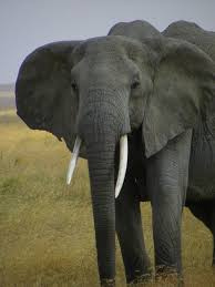 best big five elephant images elephants african  essay about african elephants african elephant this essay african elephant and other term papers college essay examples and essays are available now